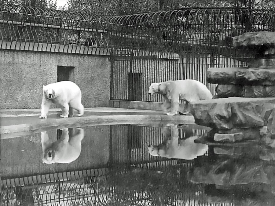 ... turn round the Polar Bear Enclosure c1911 (Photo by Mr D Seth-Smith