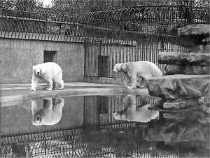 5-1-26-3 - London Zoo Polar Bears